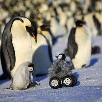 Científicos disfrazan robot de polluelo para espiar a pingüinos; es un éxito