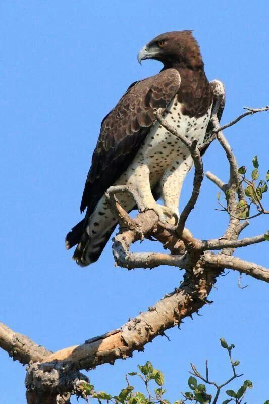 Martial Eagle | Animals / Birds | Pinterest