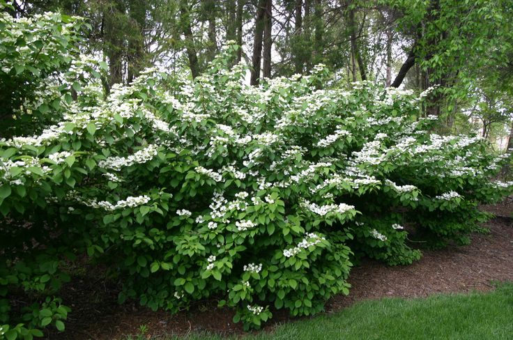 20 best images about lakecity private garden shrubs on for Common landscaping shrubs