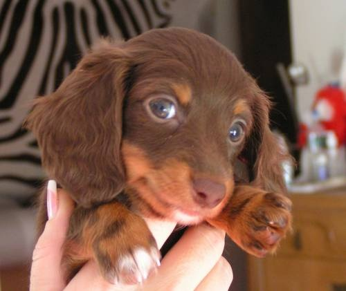 MINIATURE DACHSHUNDS PUPPIES UNIGUE CHANCE for Sale in