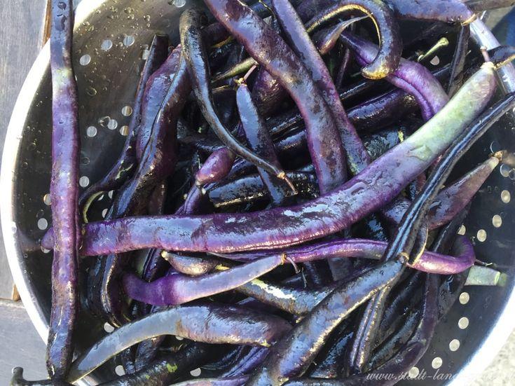 Blaue Stangenbohnen Sorte Blauhilde. Sortenvielfalt und Rezept für einen Bohnensalat.