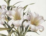 Lilium longiflorum 'Ice Queen'