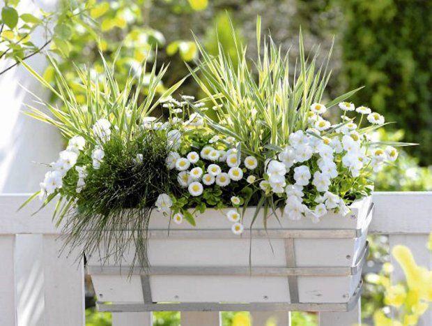 Gustownie i spokojnie, czyli biel i zieleń: stokrotki i drobnokwiatowe petunie w oprawie z traw ozdobnych. Kiedy stokrotki przekwitną, można je zastąpić dowolnymi letnimi kwiatami.