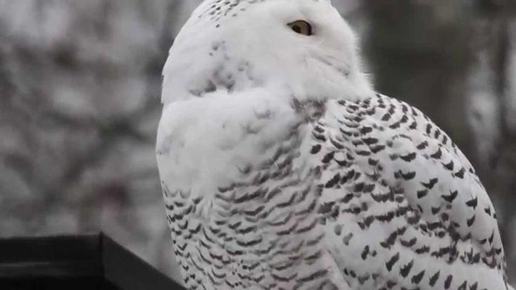 Snowy Owl, Tunturipöllö, Bubo scandiacus, Harfang des neiges, Schnee-Eul...