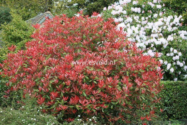 die besten 25 photinia fraseri red robin ideen auf pinterest red robin hedge red robin baum. Black Bedroom Furniture Sets. Home Design Ideas