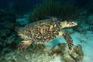 What You Should Know about the 7 Species of Sea Turtles: Hawksbill Turtle