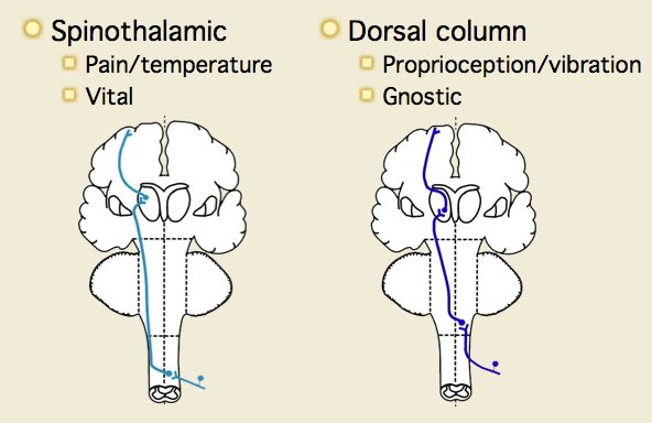 dorsal cerebrospinal cord and spinothalamic tract