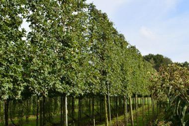 Acer campestre 'Elsrijk'  Der Feldahorn, auf Lateinisch acer campestre, ist ein beliebter Spalierbaum, vor allem um seine dichte Blattstruktur und um die malerischen Herbstfarben.