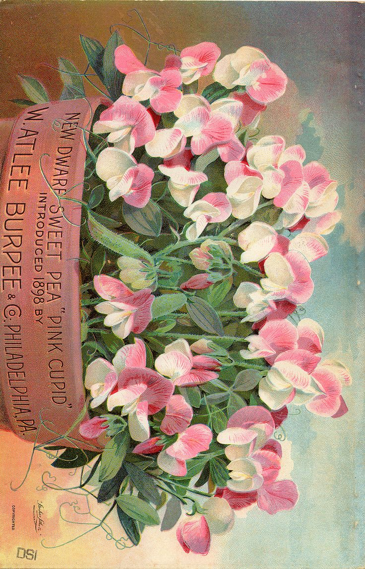 Dwarf Sweet Pea  - Pink Cupid -  Burpee and Co. Seed Company