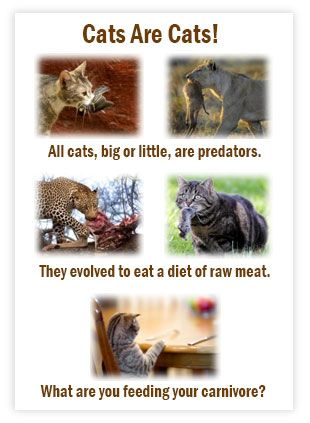 Cats are Obligate carnivores.  Feeding your cat the way nature intended will not only prevent illness, it can help his/her overall life!