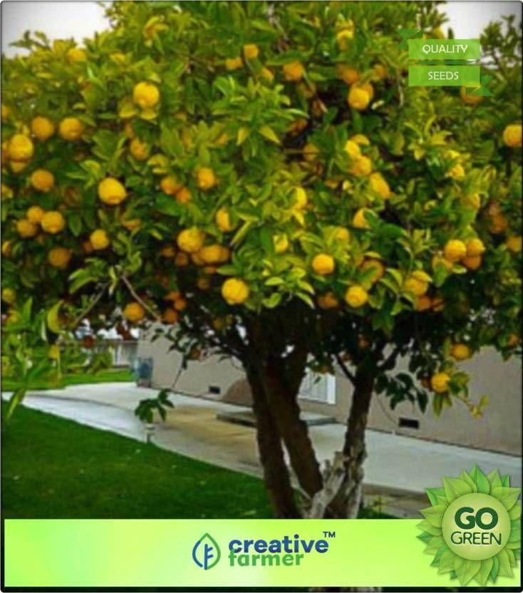 Creative Farmer Fruit Seeds Lemon Tree Fruit Seeds For Bonsai Suitable Plant Seed Price In India Buy Creative Fruit Seeds Kitchen Garden Plants Fruit Plants