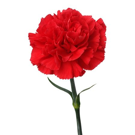 Red Carnation Flower Meaning Symbolism • Love • Distinction • Gratitude • Admiration