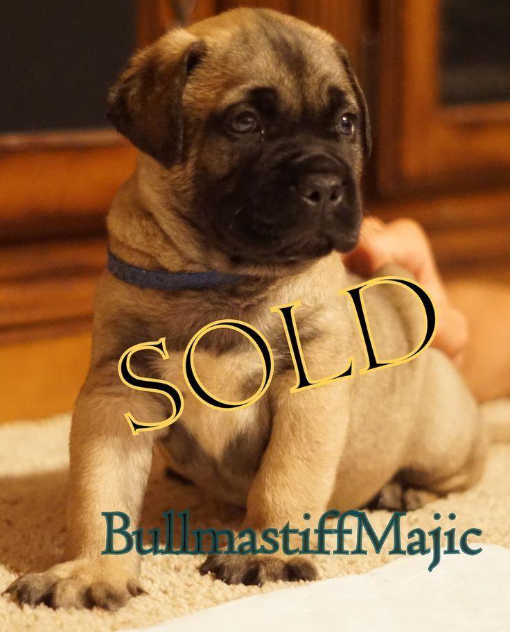 Bullmastiff Puppies For Sale Bullmastiff Puppies For Sale