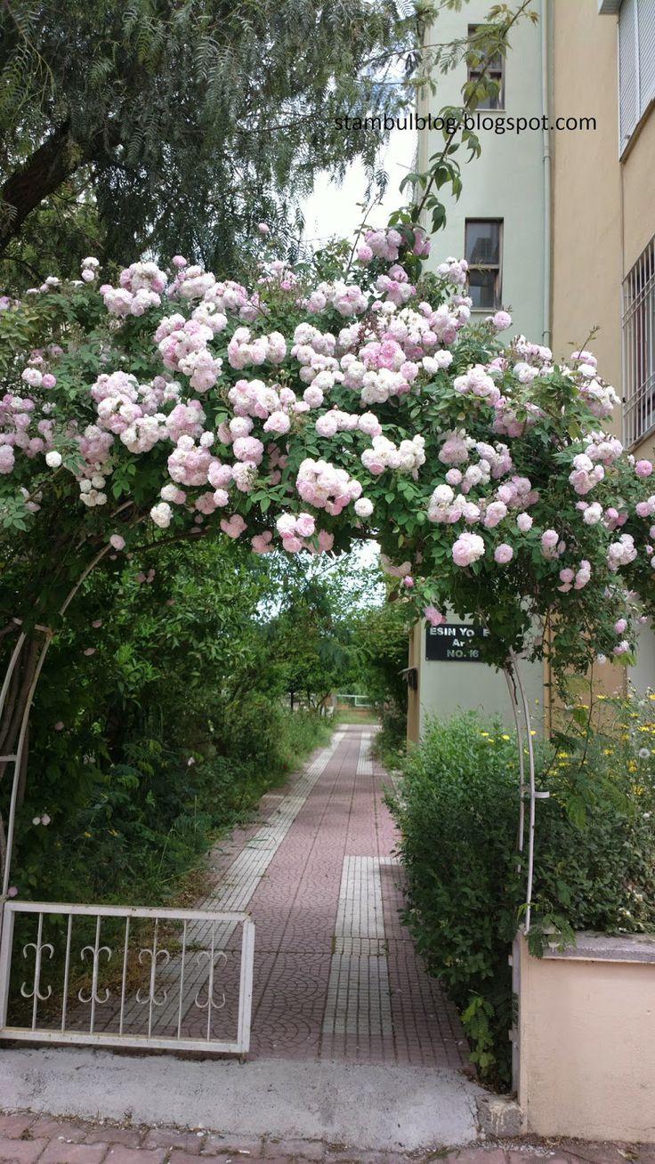 волшебные заросли роз