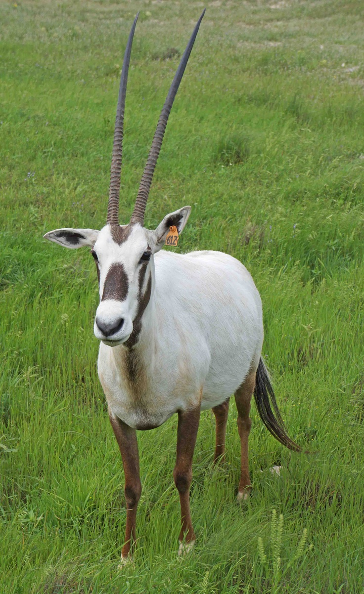 Arabian Oryx.. Her name is Buffy. | Fossil Rim Wildlife ...