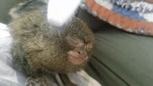 Tiny, OrphanedMarmosetJust Adores Her Toothbrush Massage