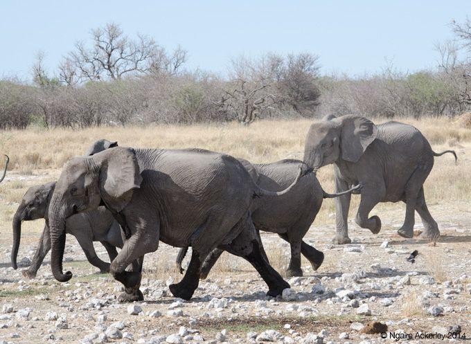 Breeding herd of elephants running