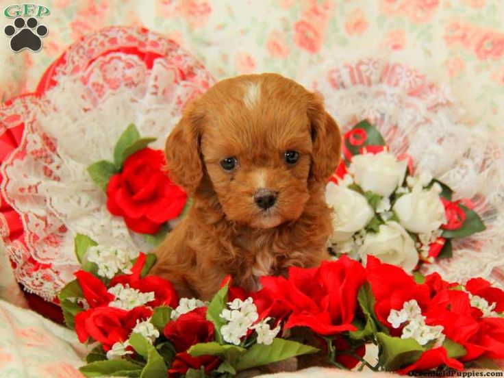 Cavapoo Puppies For Sale Nairobi Kenya
