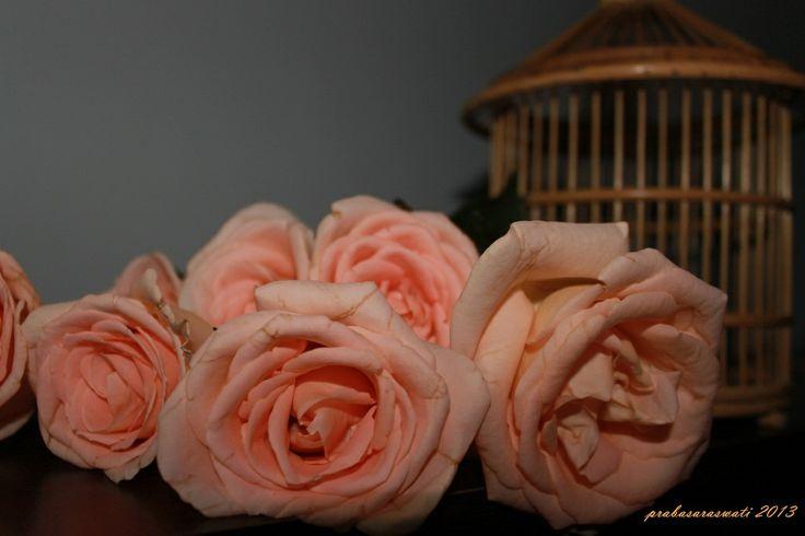 peach rose photography