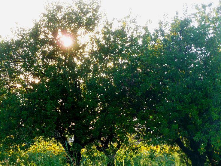 Oltre 25 fantastiche idee su alberi da frutto per giardino - Alberi frutto giardino ...