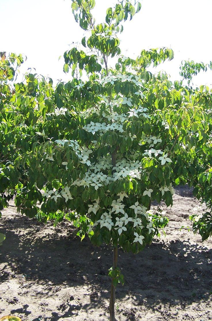Cornus kousa 'Milky Way' (Japanse Kornoelje), Statige solitaire struik, prachtige herfstkleuren, kan tot kleine boom uitgroeien, beschutte standplaats