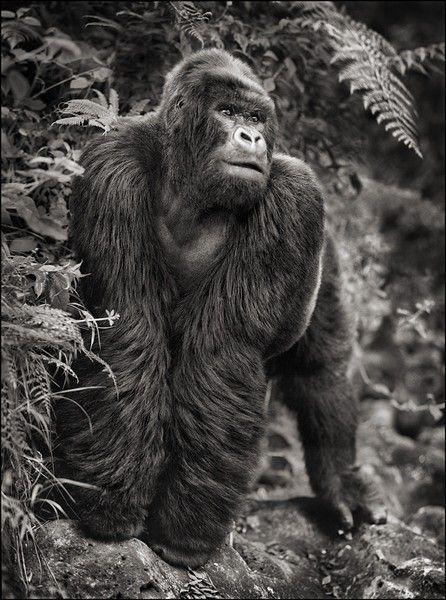 Gorilla on Rock, Parc de Volcans 2008 Nick Brandt