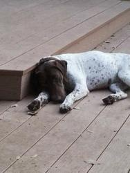 Georgia (Austin) is an adoptable German Shorthaired Pointer Dog in Austin, TX. You've never met a more laid back GSP than Georgia. She truly gets along with everyone and everything. Unlike her fellow ...
