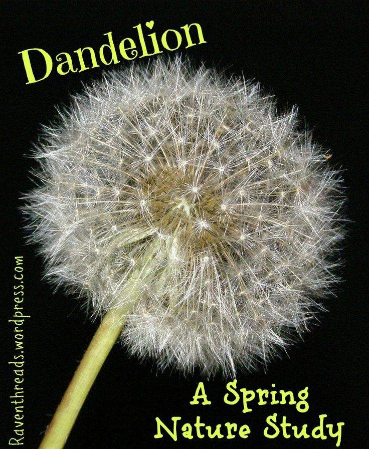 Dandelion: A Spring Nature Study Round-Up on the weed my hubby hates but my children love!