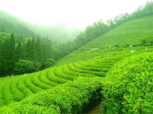 Boseong Tea Fields, South Korea