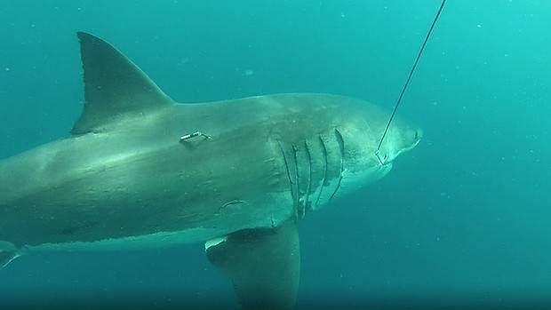 The Massive Great White Shark, estimated to measure at least 16 feet and weigh 1.6 tons, was tagged off King George Sound.