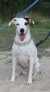 PUBLIC - VECCI - Breed: Catahoula - Estimated DOB: 1/1/06 - Heartworm Status: Negative - Gender: Female, Spayed - Shots: Up to Date - Notes: Mostly blind & deaf.  Email caawsmail@yahoo.com for further information.