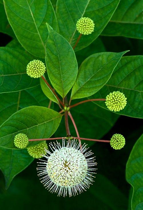 Buttonbush. Photo by Cindy Dyer