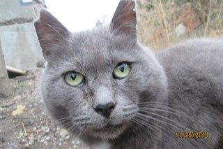"""Today, Friday, September 18, 2015 my dear purr baby Grey crossed the Rainbow Bridge. Grey was one of my original """"6 pack"""" when I started the feral colony almost 4 years ago. His gentle spirit was always first to greet me.Grey was an unwanted 'feral' but he was loved by me. His spirit is within my heart forever, and now he is Home."""