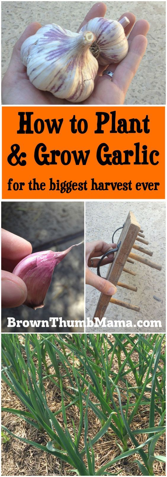 Garlic Is Amazingly Easy To Grow All You Need Is A Sunny Spot And These Important Tips You 39 Ll