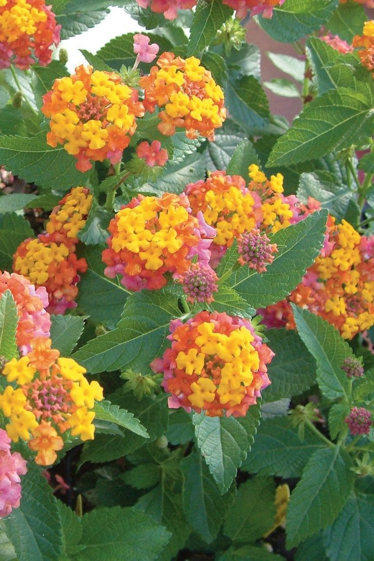 Lantana Flowers Are One Of The Most Colorful In The Plant Kingdom Making Them So Easy To Combine In Container Gardens The Lantana Flower Pots Lantana Camara