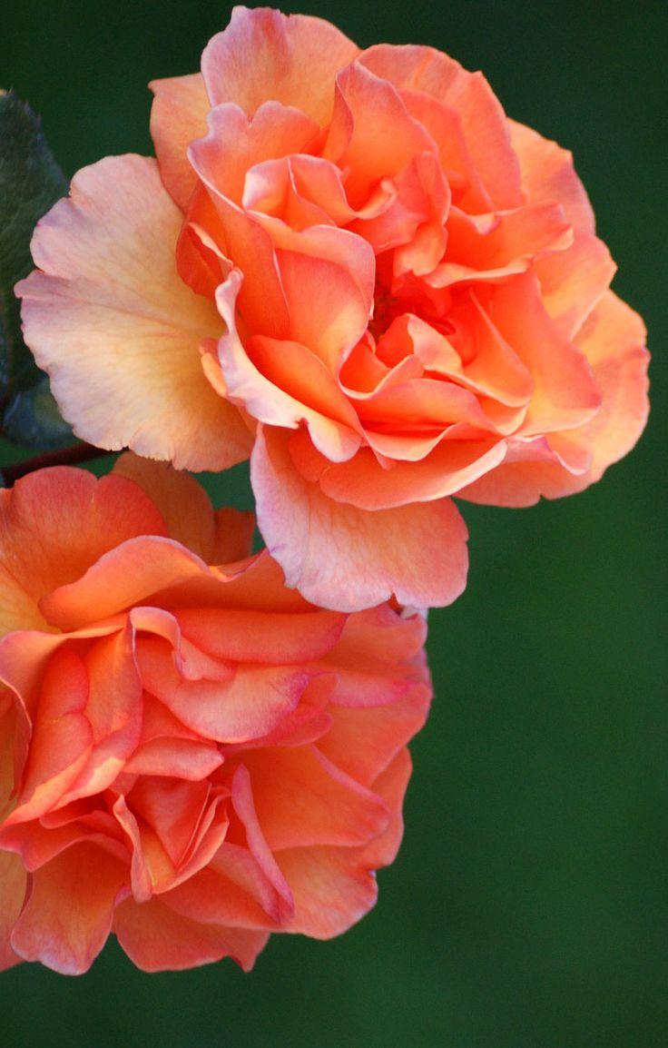 Beautiful roses, 35 best flower photos