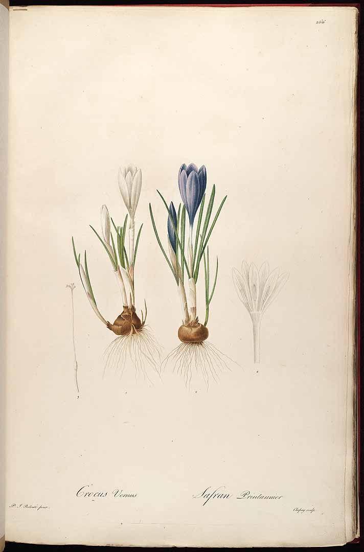 Redouté. Crocus vernus. http://plantillustrations.org/illustration.php?id_illustration=37919
