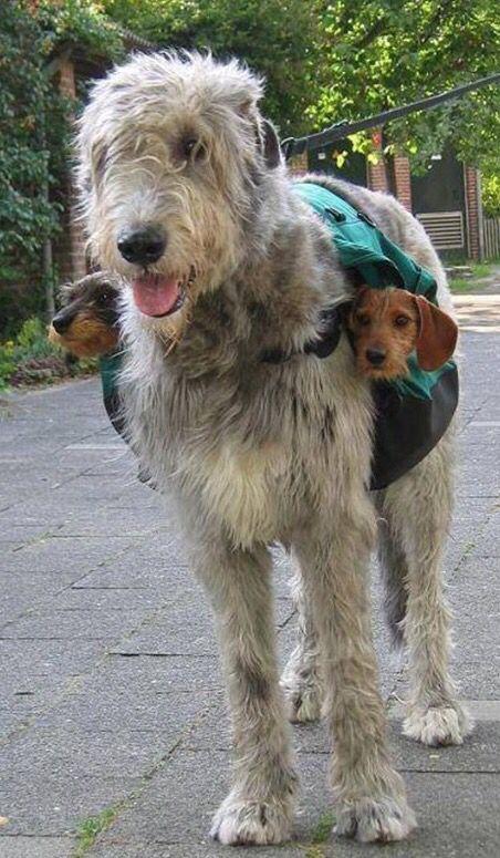 Irish Wolfhound and two mini wirehaired Dachshunds