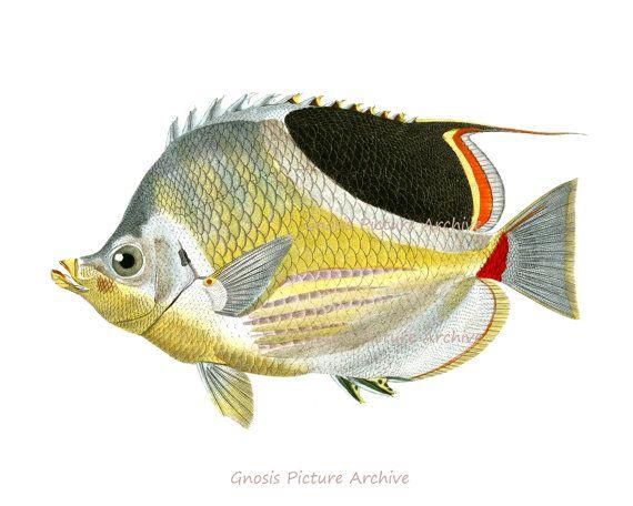 21 best Antique Fish Prints images on Pinterest   Fish print, Fish ...