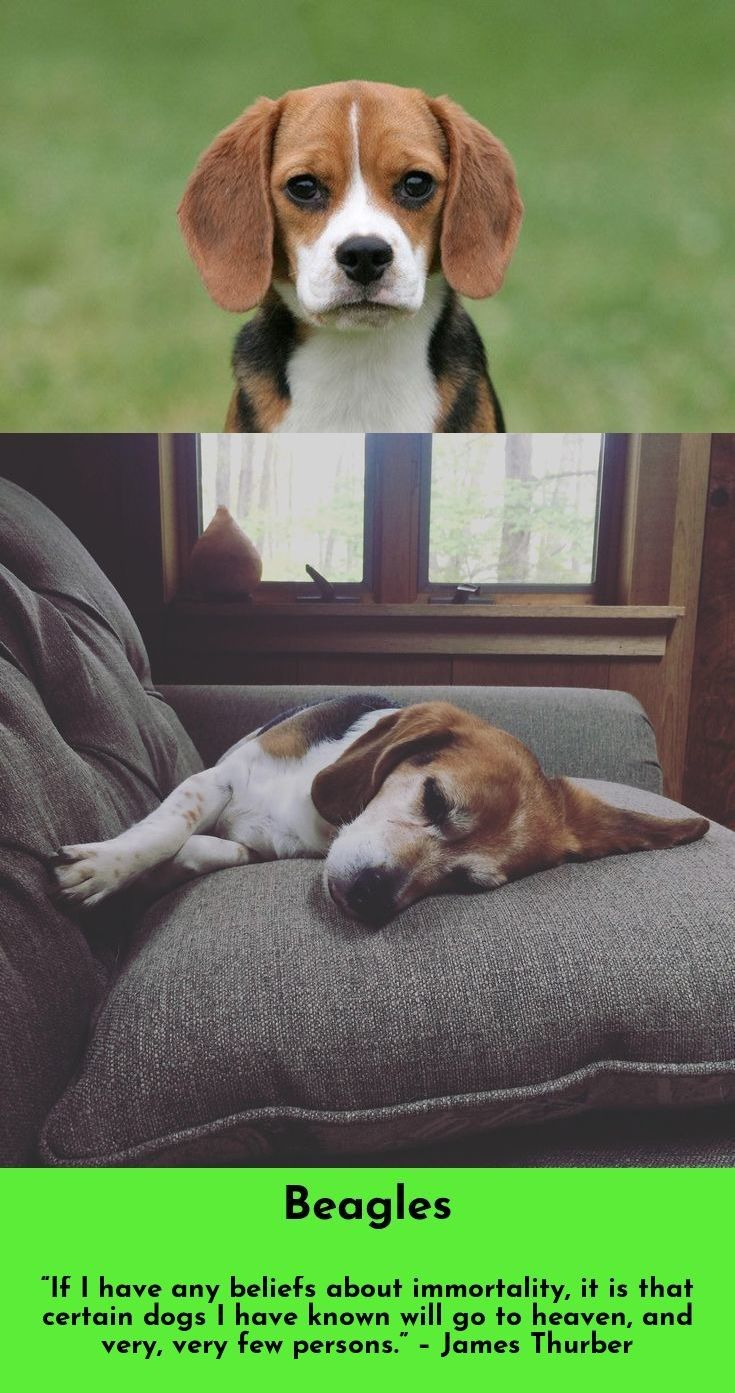Find More Information On Beagles Beagles Follow The Link For More