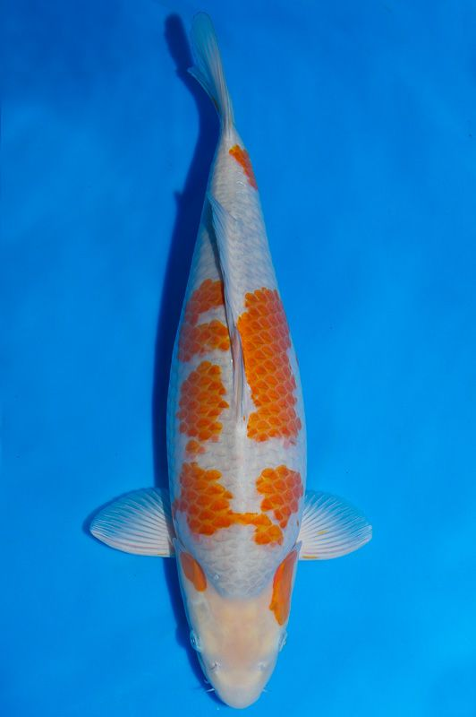 17 best images about koi for sale on pinterest pastel for Grand champion koi for sale