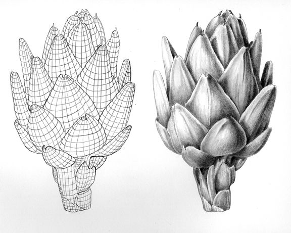Botanical art natural science illustration tip surface contour in out and over an artichoke for realistic drawing and painting botanical artists and