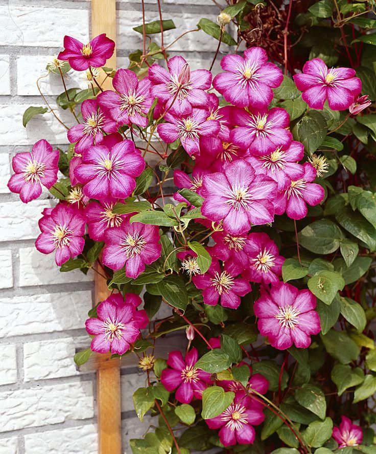 Klematis 'Ville de Lyon' | Zon 4. Klätterväxt som blommar med vackra stora (10-15 cm), karminröda blommor hela sommaren lång.  Livar upp kala väggar, staket eller pergolor. Också mycket vacker i en kruka på terrassen eller balkongen. Ge den bara ett klätterstöd. 2-3 m.