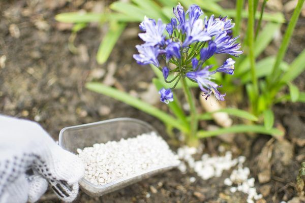 How to Care for Agapanthus Plants (with Pictures) | eHow