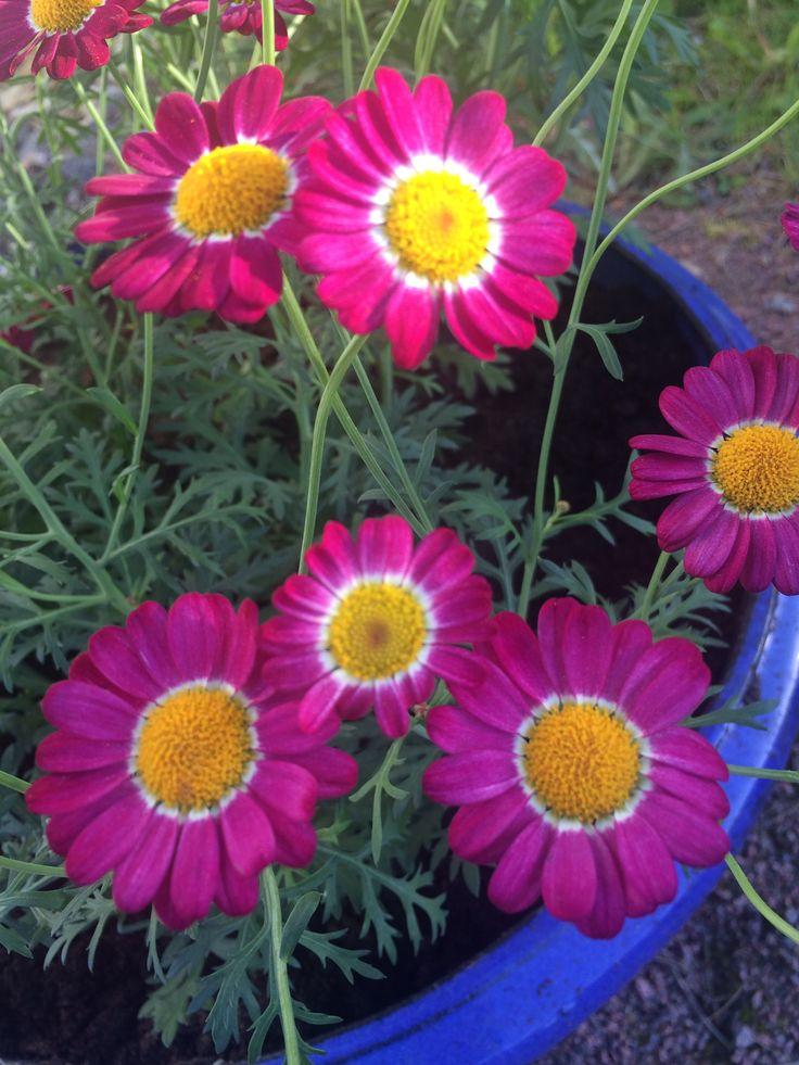 Pinkki marketta (Argyranthemum frutescens, Chrysanthemum frutescens)