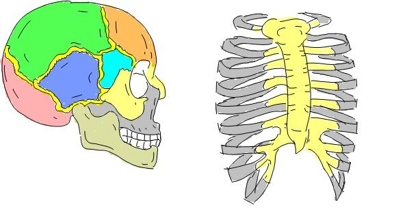 Cranium and Rib Cage, part of Axial