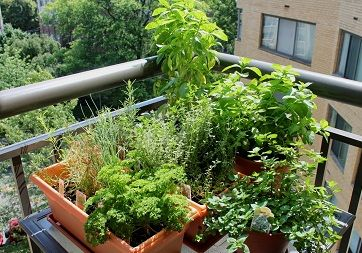 Make a balcony herb garden, do not miss this complete tutorial on growing herbs on a balcony.