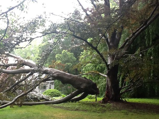 This Beech tree lost half of its canopy when a major branch split from the weight of unusual spring growth.