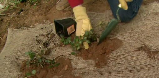 To prevent erosion from occurring, install a layer of burlap before planting ground cover.