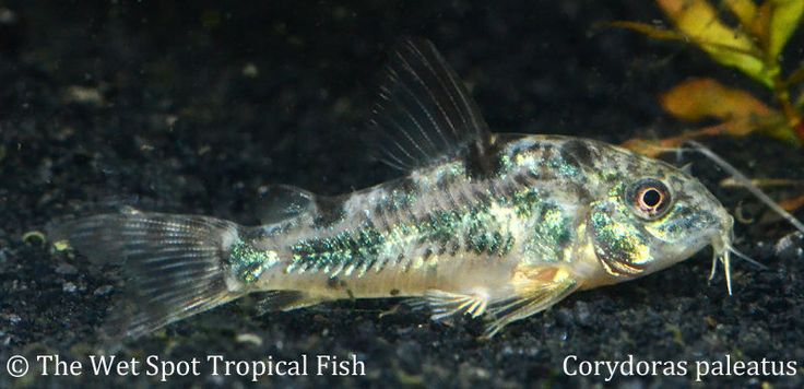 "(10) .75"" Salt and Pepper Cory TR Corydoras paleatus Live Freshwater Tropical"